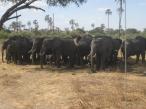 tæt på elefanterne