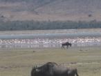 Flamingo og gnu